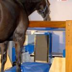 Magnetresonanztomographie beim Pferd
